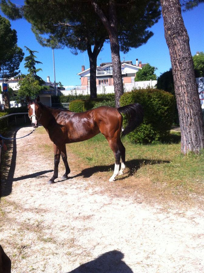 nitro horse